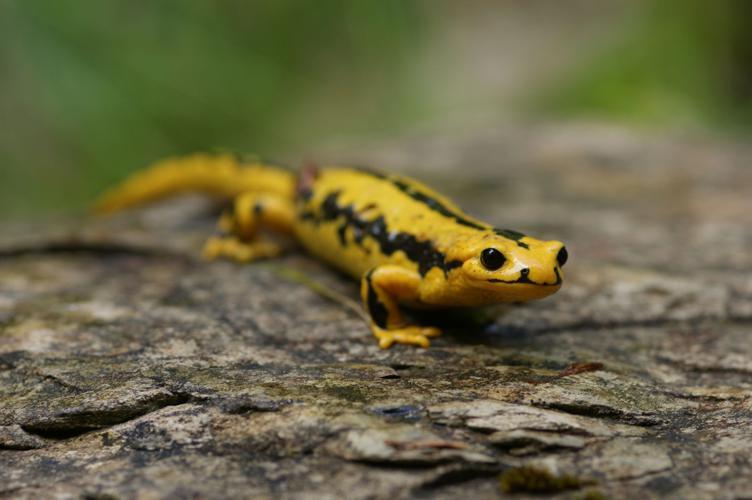 Salamandra salamandra fastuosa © Matthieu Berroneau