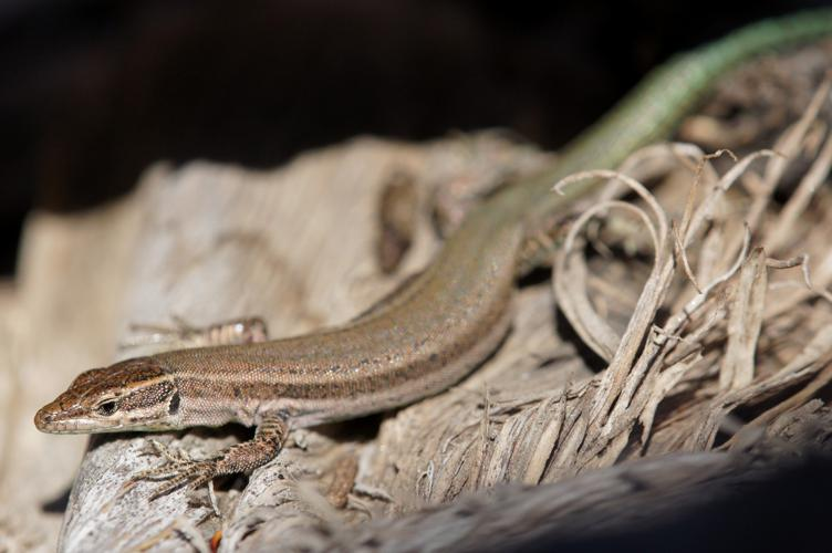 Lacerta hispanicus © Matthieu Berroneau