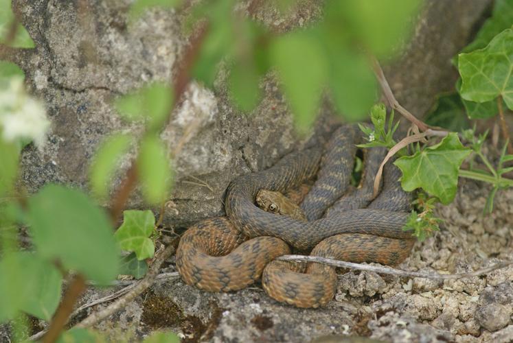 Couleuvre vipérine - (Natrix maura) Castelnau-Barbarens - (Gers) © Laurent Barthe